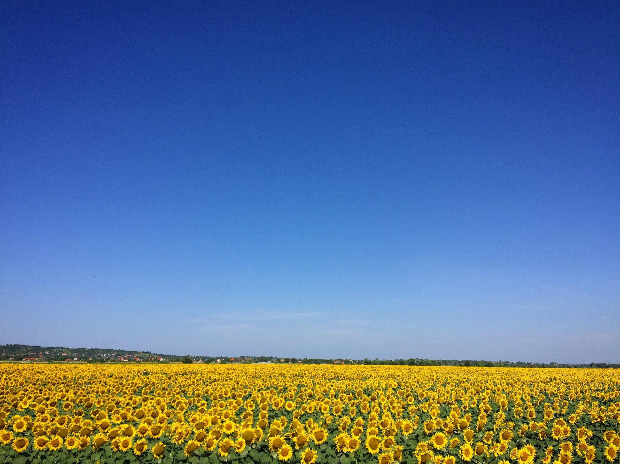 Sunflower Field under a blue sky